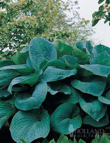 Big Daddy Hosta- large blue leaves. Bluer in full shade.