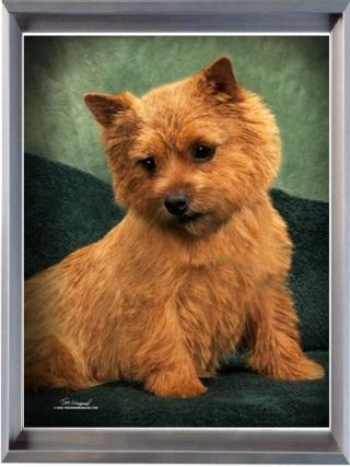 Norwich Terrier Puppies For Sale Puppies For Sale Norwich
