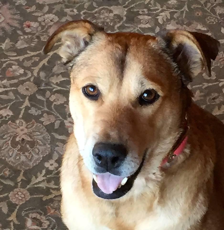 Adopt ROSARIO (Boulder) on Labrador retriever