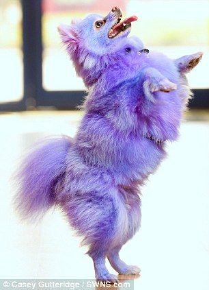 Dyed pomeranians | Harvey Moon the Pomeranian dog, from ...