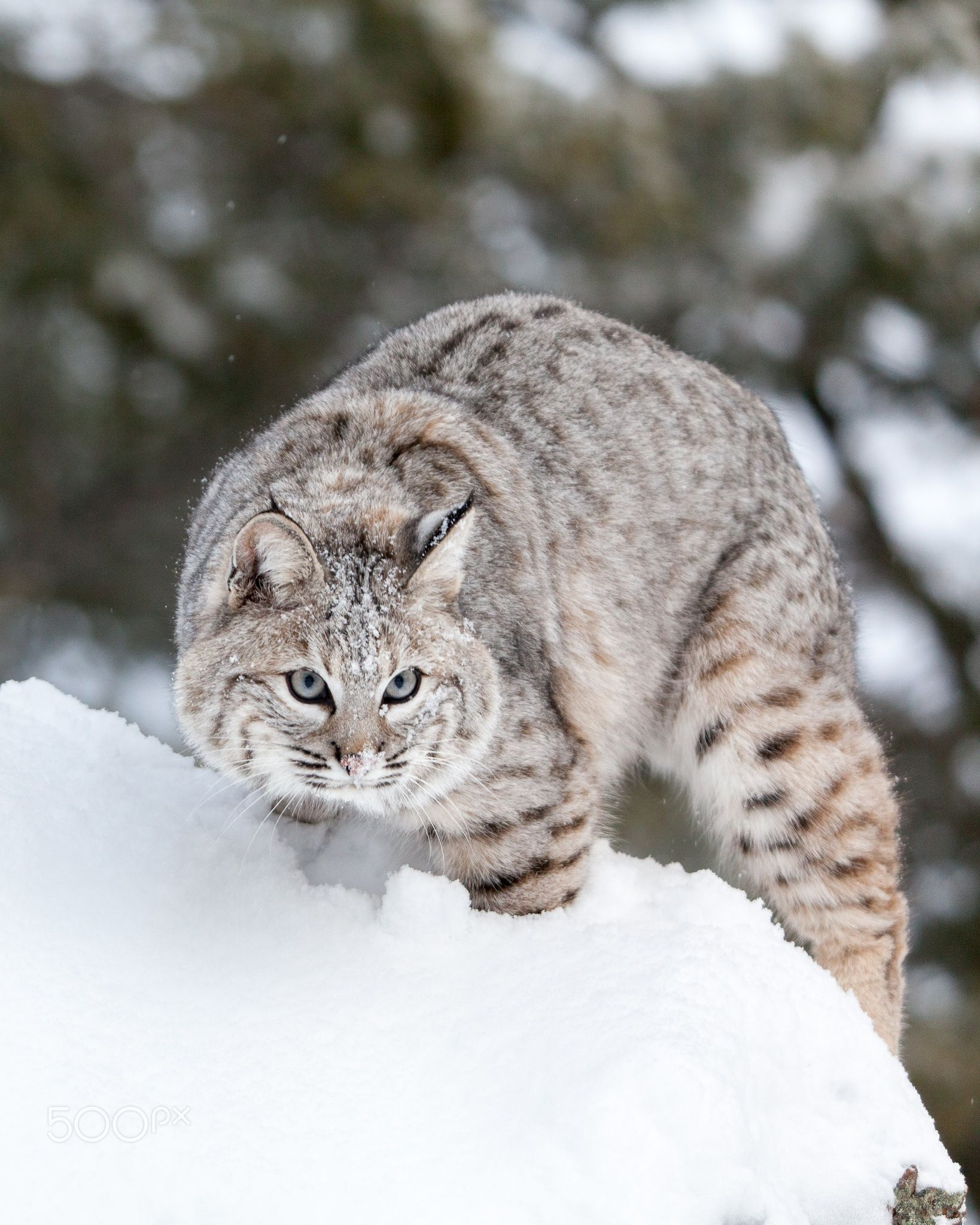 I See You Bobcat stops to see the world, and the