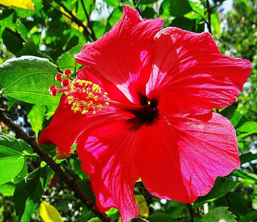 La Cayena O Hibiscus Flor Emblematica Del Estado Nueva Esparta Flowers Rose Print Patterns