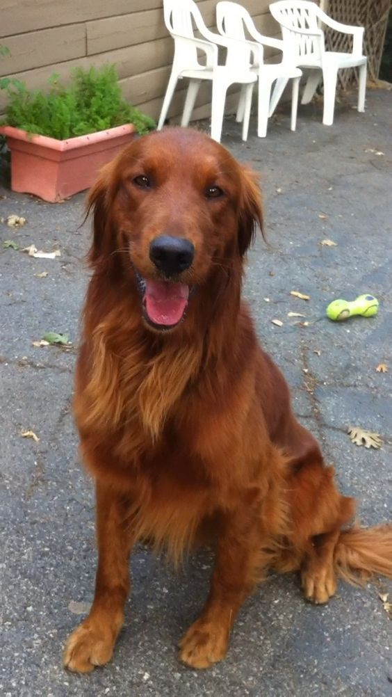 Golden Retriever Image By Timber Saxon On Dog Daze Dog Life