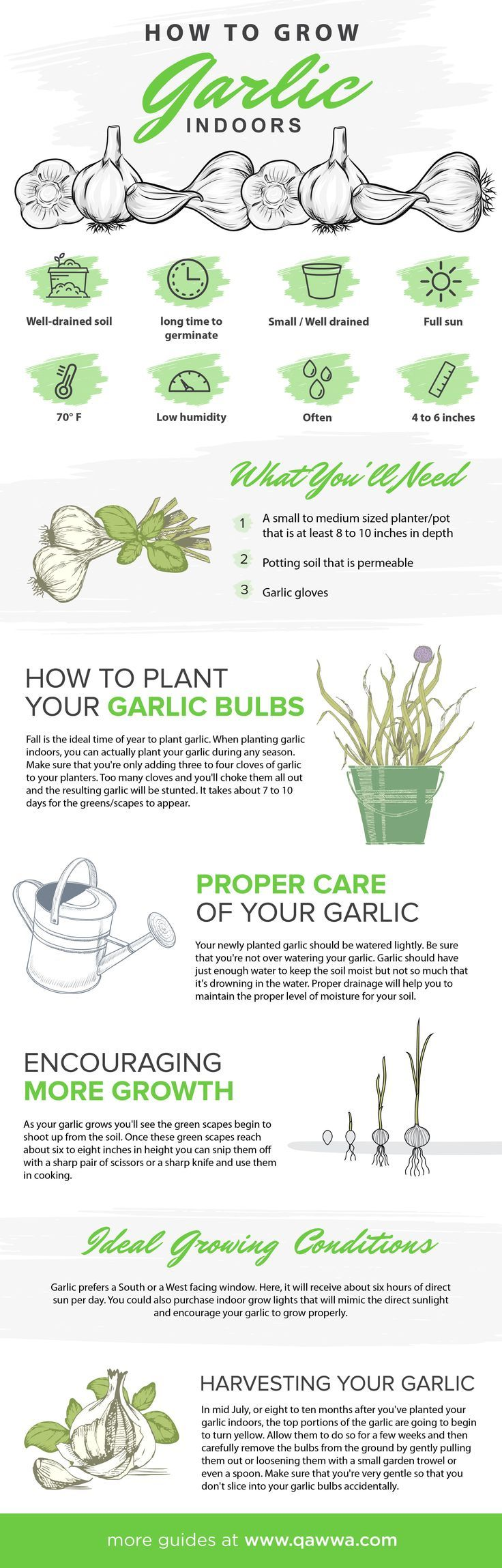 How To Grow Garlic Indoors From Seed To Harvest If You Need More Light Visit Our Website Www Qawwa Com Growing Garlic Grow Garlic Indoors Growing Seeds
