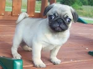 Best Quality Pug Puppy For Sale Singapore March 2020 Free Pug
