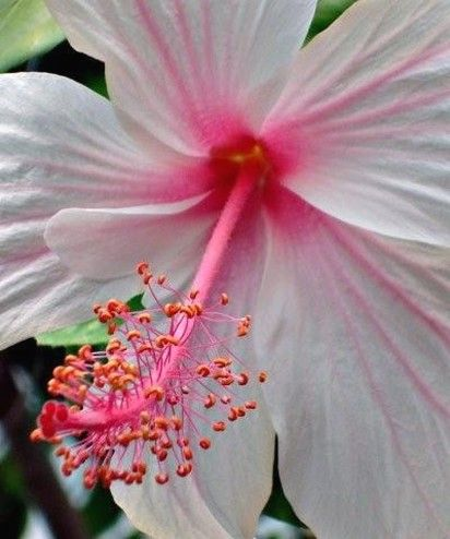 pics of hibiscus flower in white with bright pink lines ...