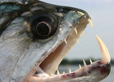 21 Of The Freakiest Fish Caught On River Monsters Scary Fish