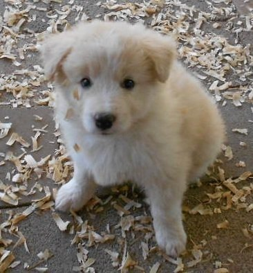 Border Collie Puppies For Sale In California Balmoral Border Collie In 2020 Collie Puppies For Sale Border Collie Puppies Collie Puppies