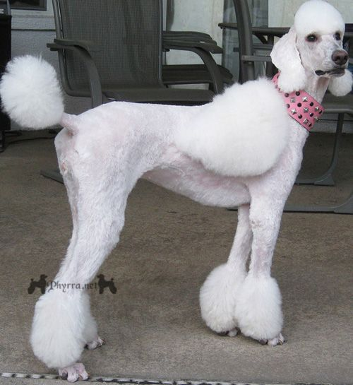 White Standard Poodle With Tassels And Wings Poodle Dog