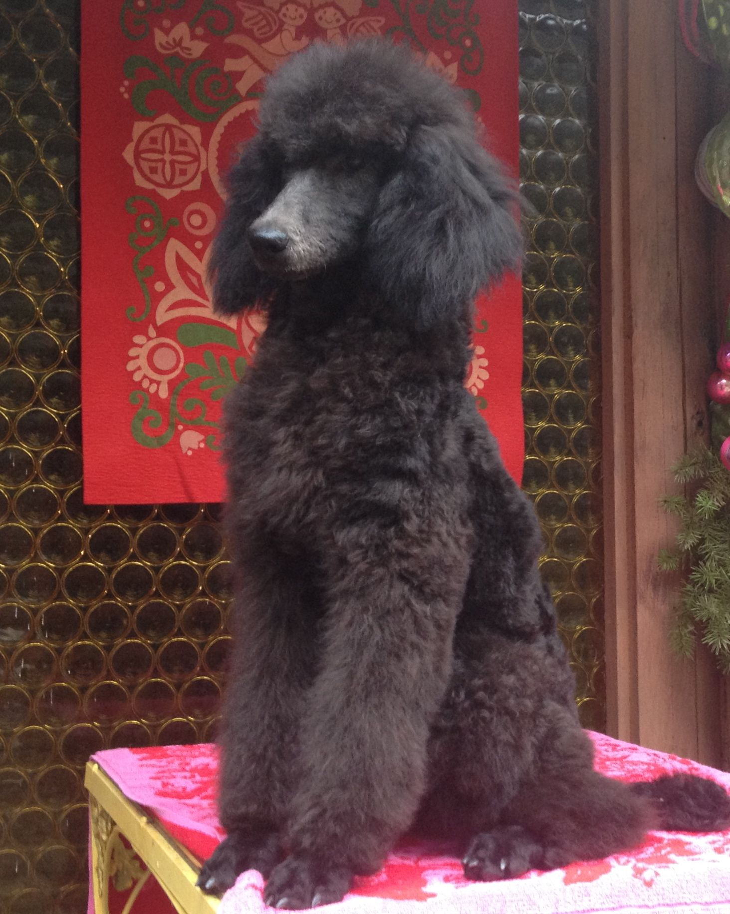 This Beautiful Standard Poodle Girl Is Named Velvet Standard