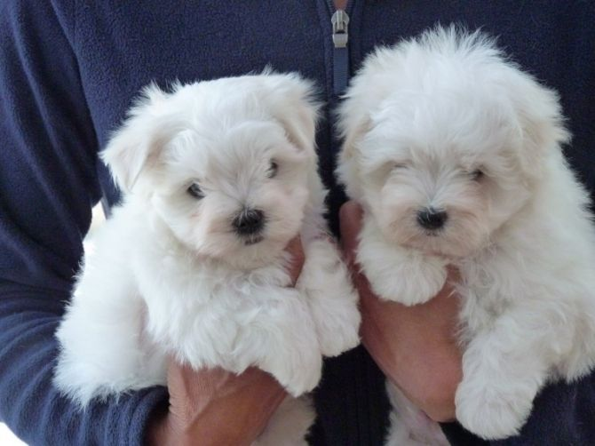 Wonderful Maltese Puppies For Sale Text At 469 723 9445 Maltese