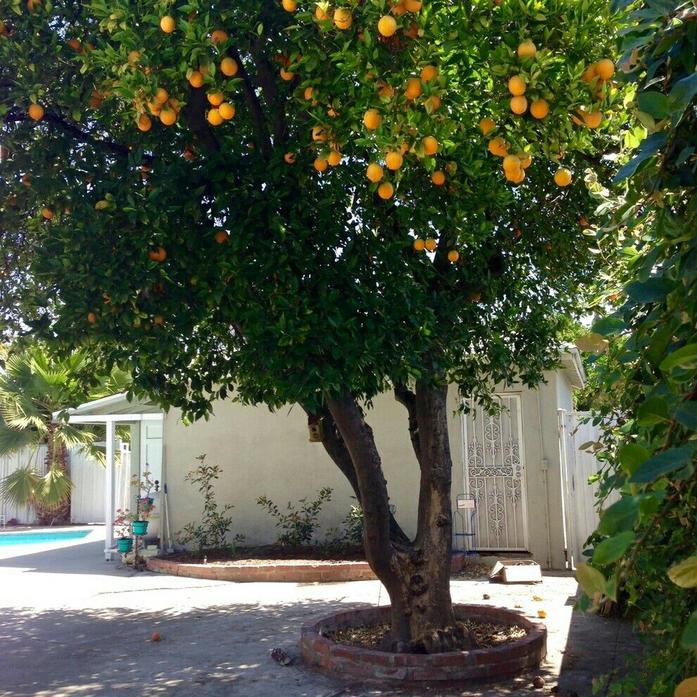 Socal Orange Tree Landscaping For Southern California Vintage