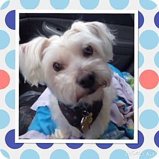 Pin By Uber Wagmore On Adoptable Small Breeds Schnauzer Mix