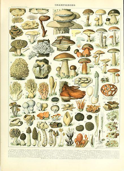 File Adolphe Millot Champignon Jpg Vintage Botanical Prints Botanical Art Mushroom Poster