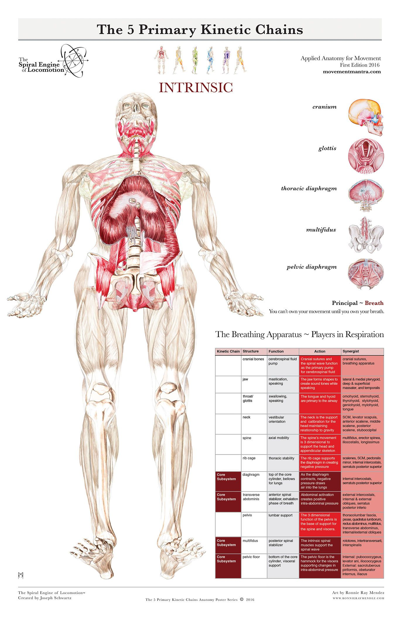 The Spiral Engine Of Locomotion Functional Anatomy Pinterest