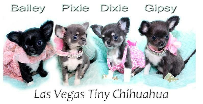 Meet Our Beautiful Chihuahuas Las Vegas We Are Small Hobby