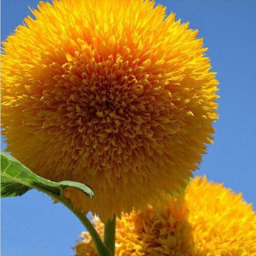 15Pcs Teddy Bear Sunflower Seeds Home Garden Semi Dwarf Helianthus Garden Beautiful Flower Seeds