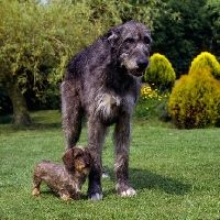 Irish Wolfhound And Daschund Picture Of Ch Sovryn Of Drakesleat