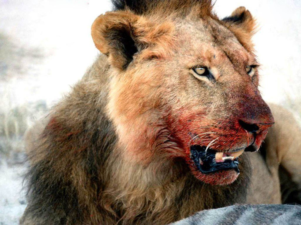 Dangerous Animals Hd Wallpapers Wild Cats Animal Attack