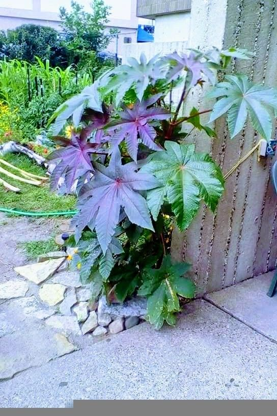 Castor Bean Plant Fast Growing And Extremely Ornamental