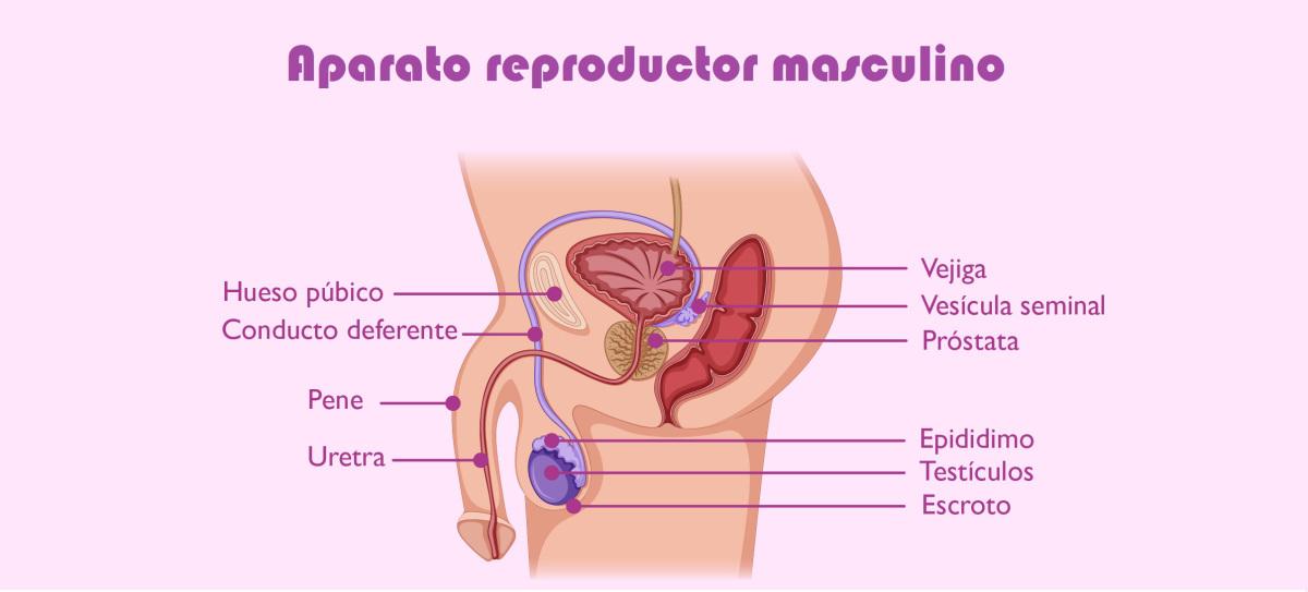 Aparato reproductor masculino | Reproducción humana | Pinterest ...