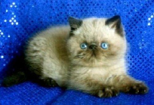 Himalayan Cat Short Hair