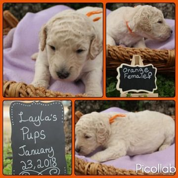 Litter Of 8 Goldendoodle Puppies For Sale In Covington Ga Adn
