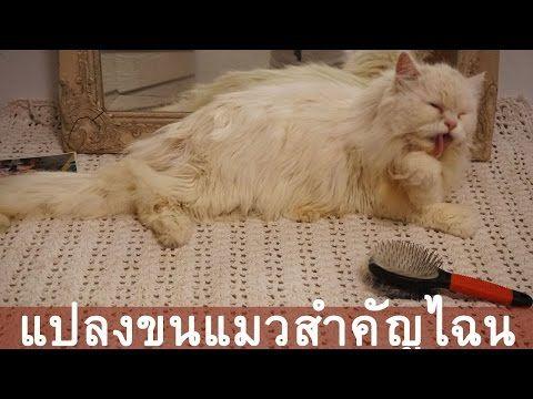 การแปลงขนแมวเปอร เซ ยร หล งอาบน ำสำค ณมาก Whatsupcat แม สวย
