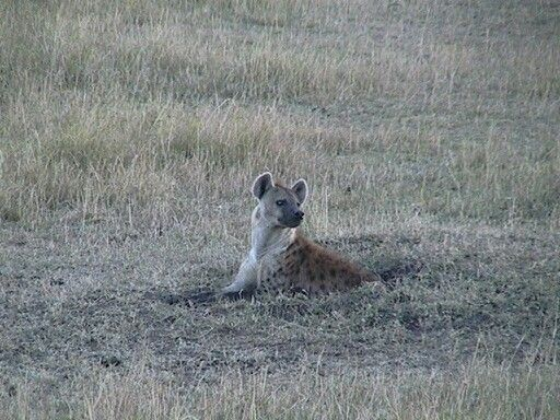 Hyena in a hole - hiding?
