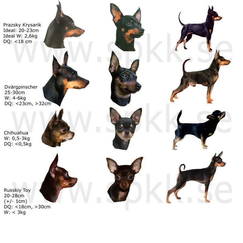 Prague Ratter Vs Pinscher Vs Chihuahua Miniature Pinscher Dog