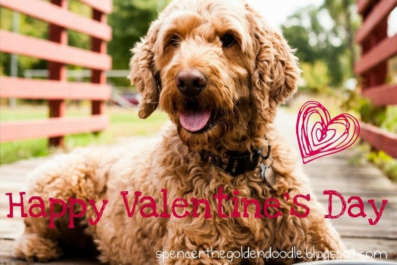 Happy Valentine S Day Pet Parade Happy Valentines Day Goldendoodle