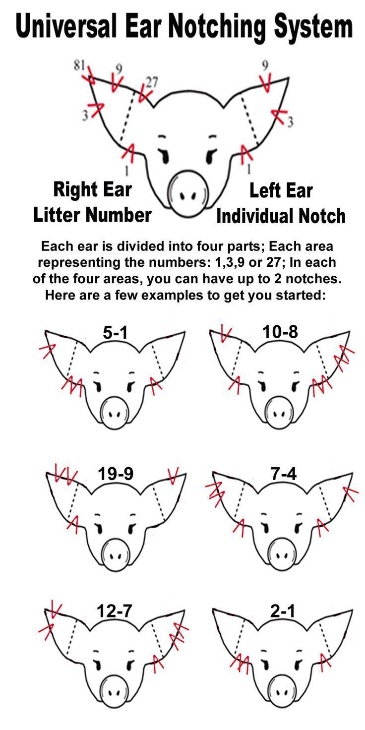 4 h pig diagram aiphone c ml wiring ear notching notch livestock