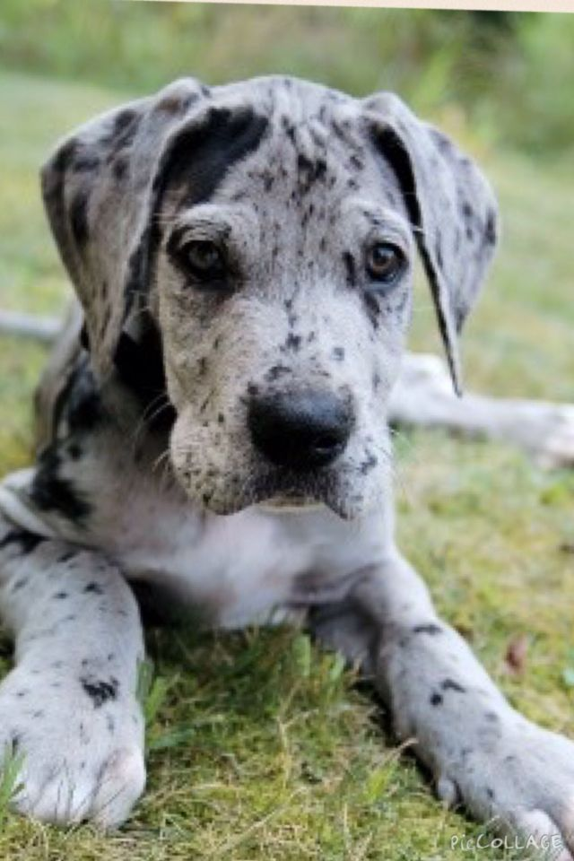 Grate Dane Puppy With Images Great Dane Dogs Dane Puppies