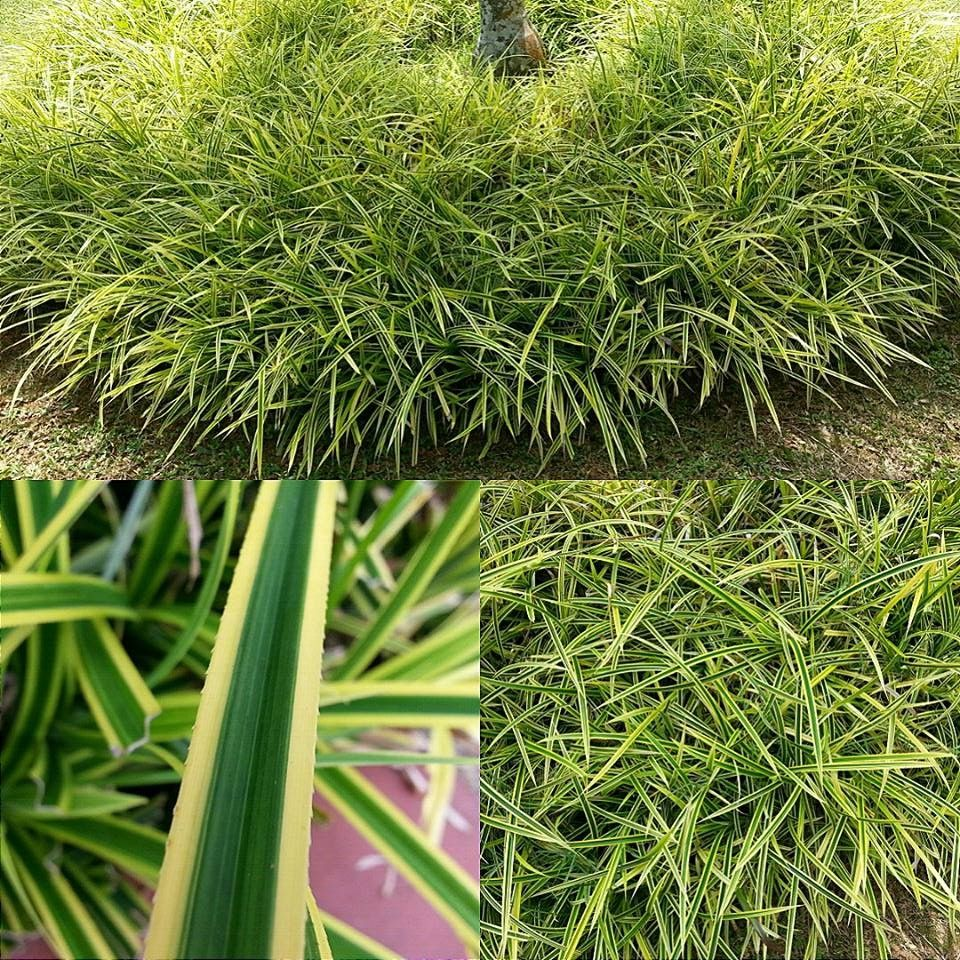 Scientific name pandanus pygmaeus family name for Short variegated grass