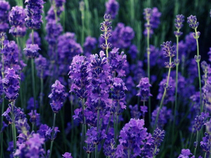 purple heaven #flower #streamzoo #DSLR #photography #nature