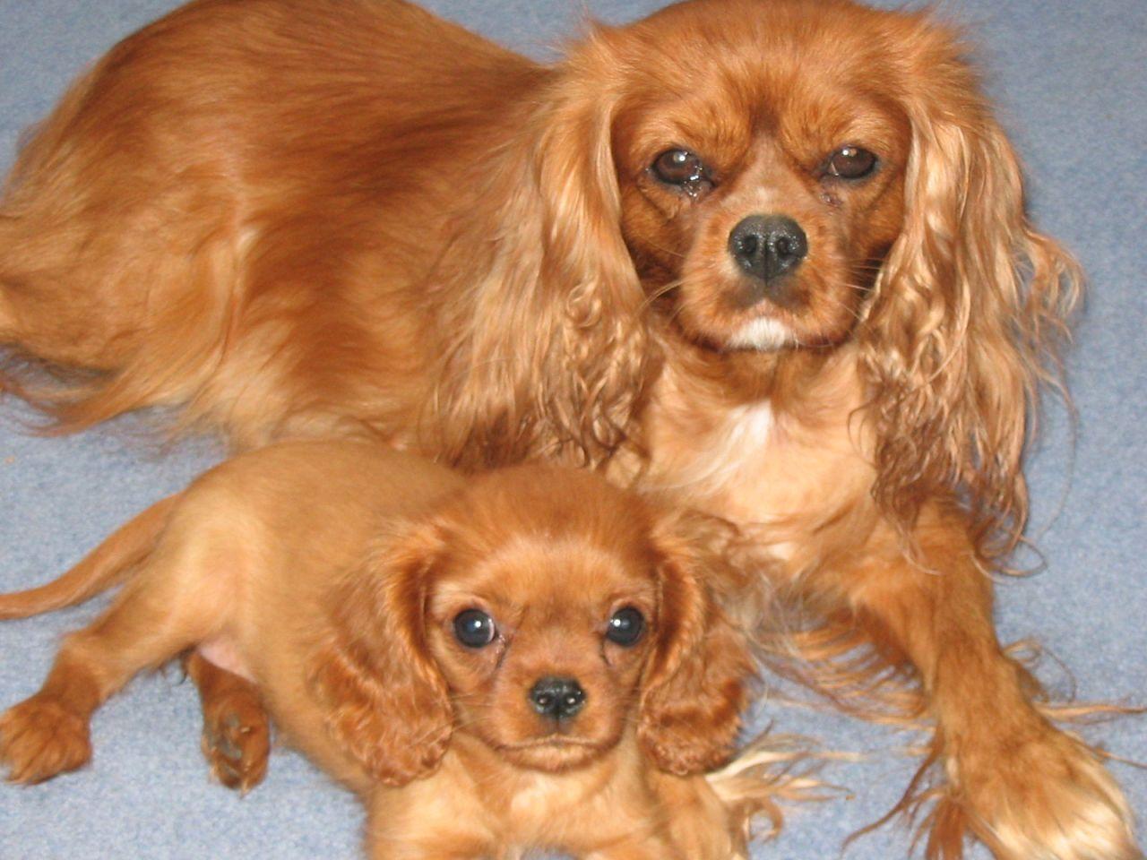 Cavalier King Charles Puppies Leeds West Yorkshire King Charles Spaniel Charles Spaniel Cavalier King Charles Spaniel