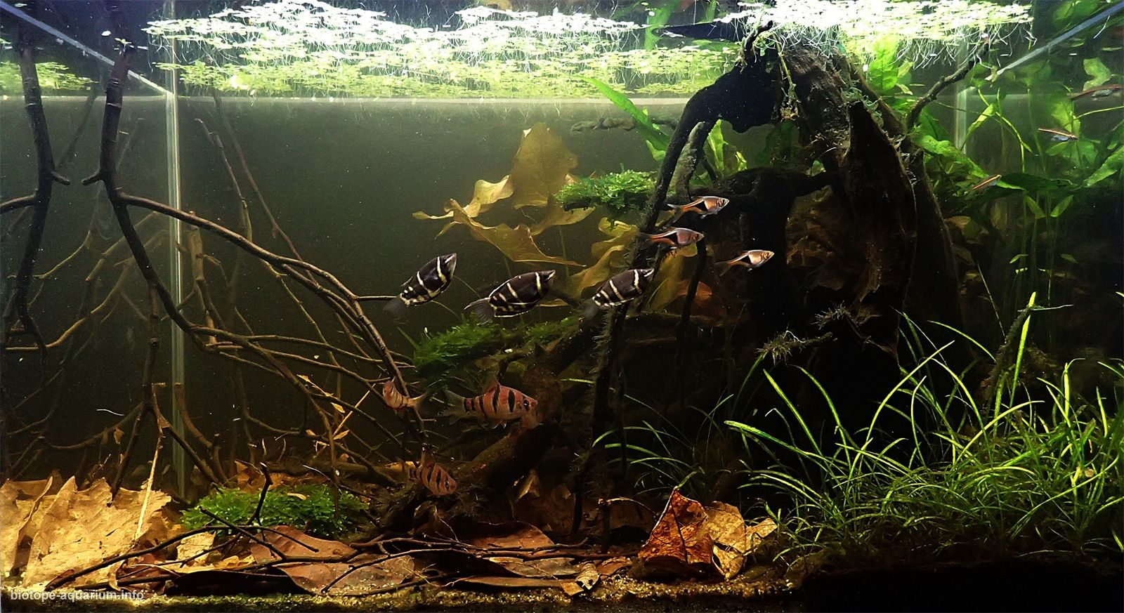 Peat Swamp Forest In The Central West Of Peninsular Malaysia 60 L Biotope Aquarium Biotope Aquarium Aquascape Aquarium Live Aquarium Plants