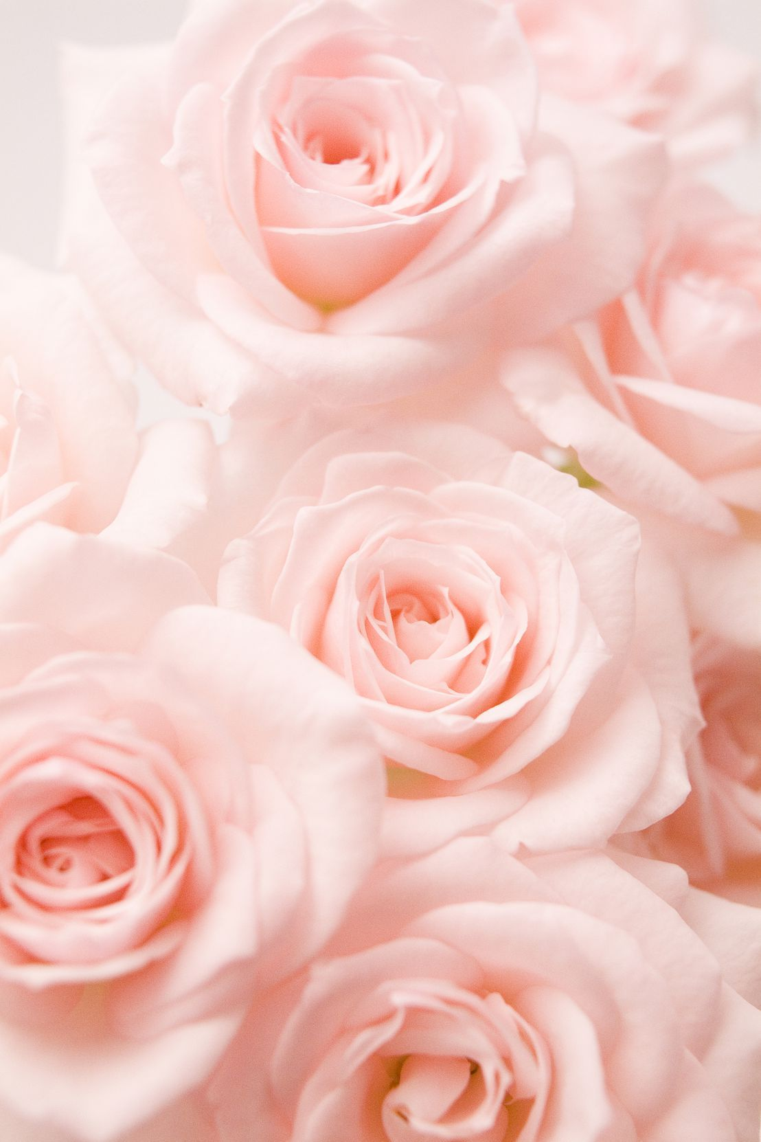 Coral Roses Are The Perfect Way To Celebrate Your First Valentine S Day Together Pink Roses Background Rose Color Meanings Flower Aesthetic