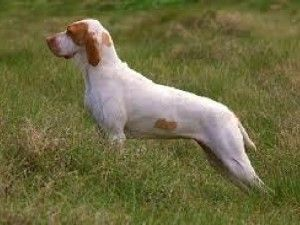ariege pointer | Ariege Pointer | Pet Paw | Hunting dogs