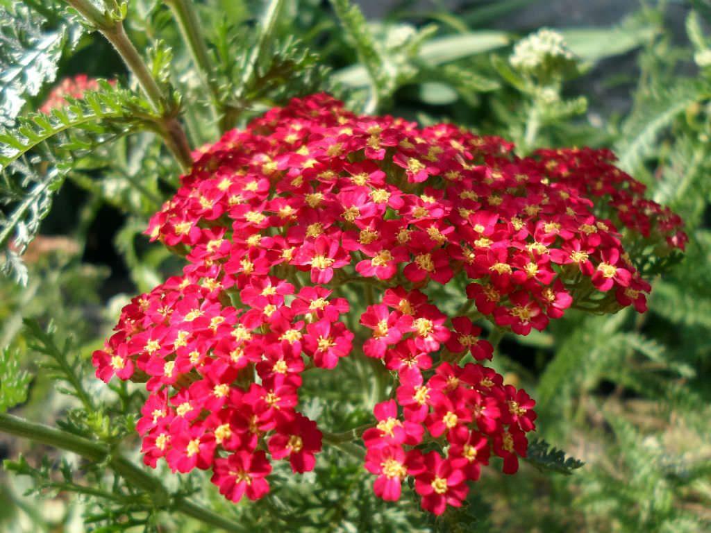 Achillea Millefolium Red Beauty Red Beauty Yarrow World Of Flowering Plants Achillea Millefolium Plants Planting Flowers