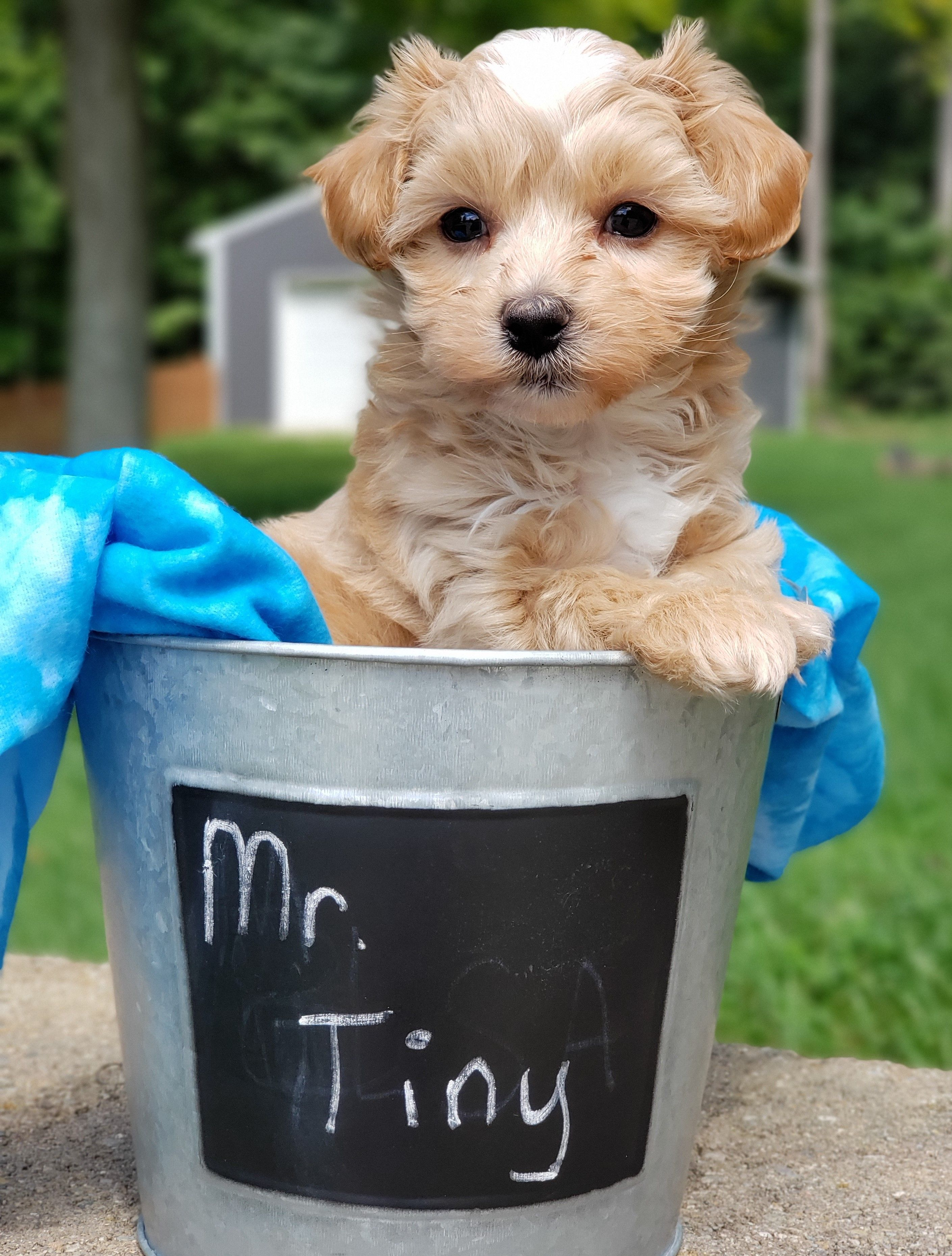Puppies For Sale Maltipoo Puppy Puppies Dog Breeder