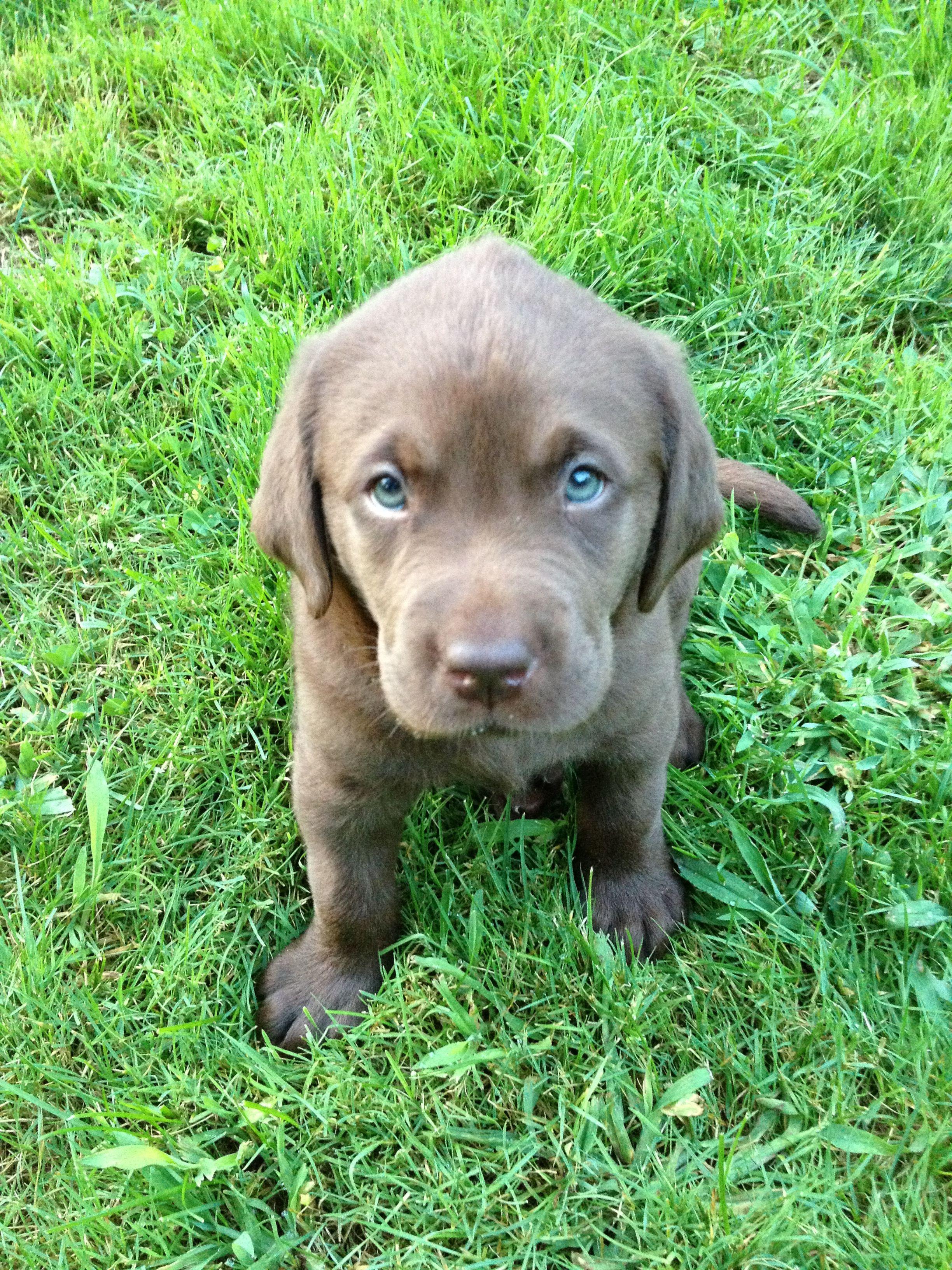 7 week old chocolate lab puppy