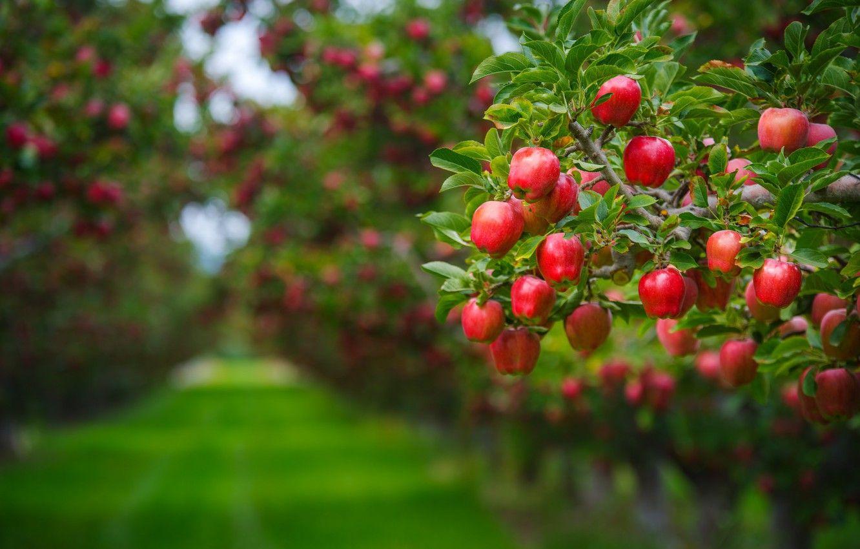 красивый фруктовый сад фото