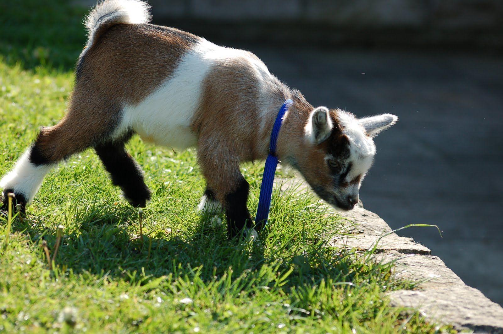 Pygmy Goat Kids for sale Pygmy goat, Cute little animals