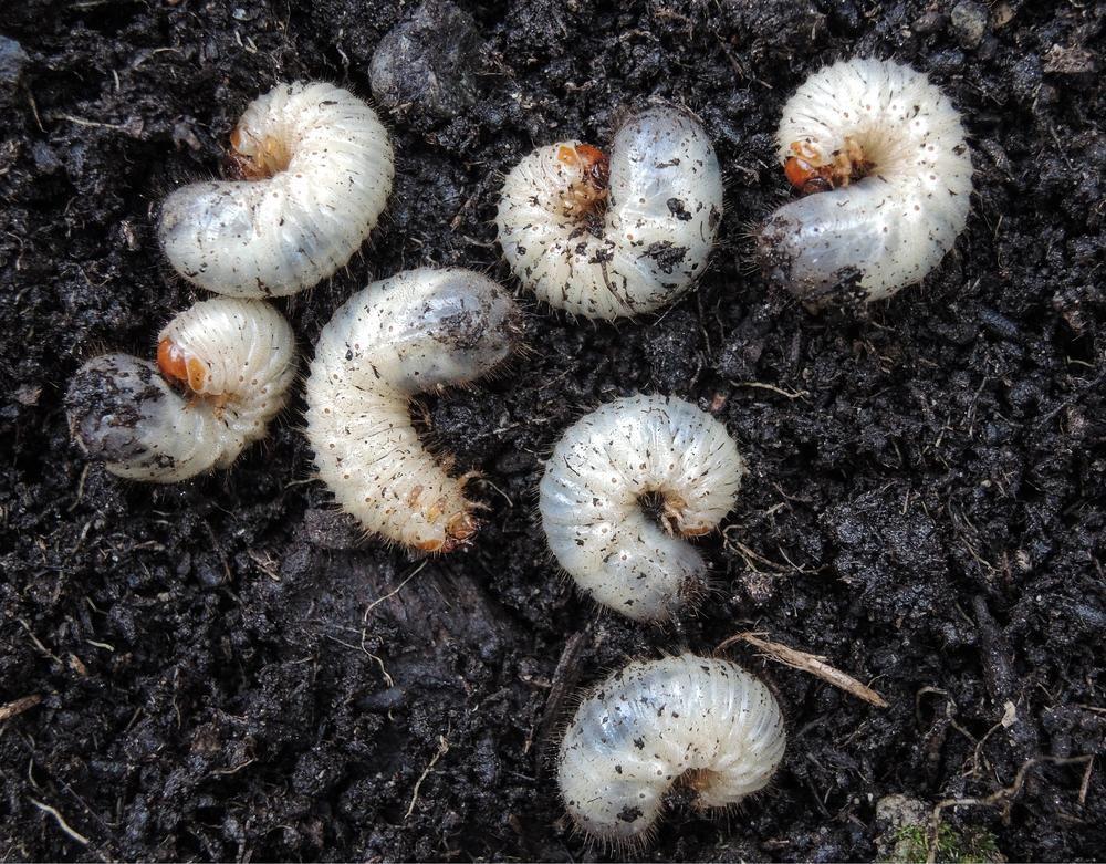 Engerlinge Mit Bildern Engerlinge Schadlinge Im Garten Terrassenpflanzen