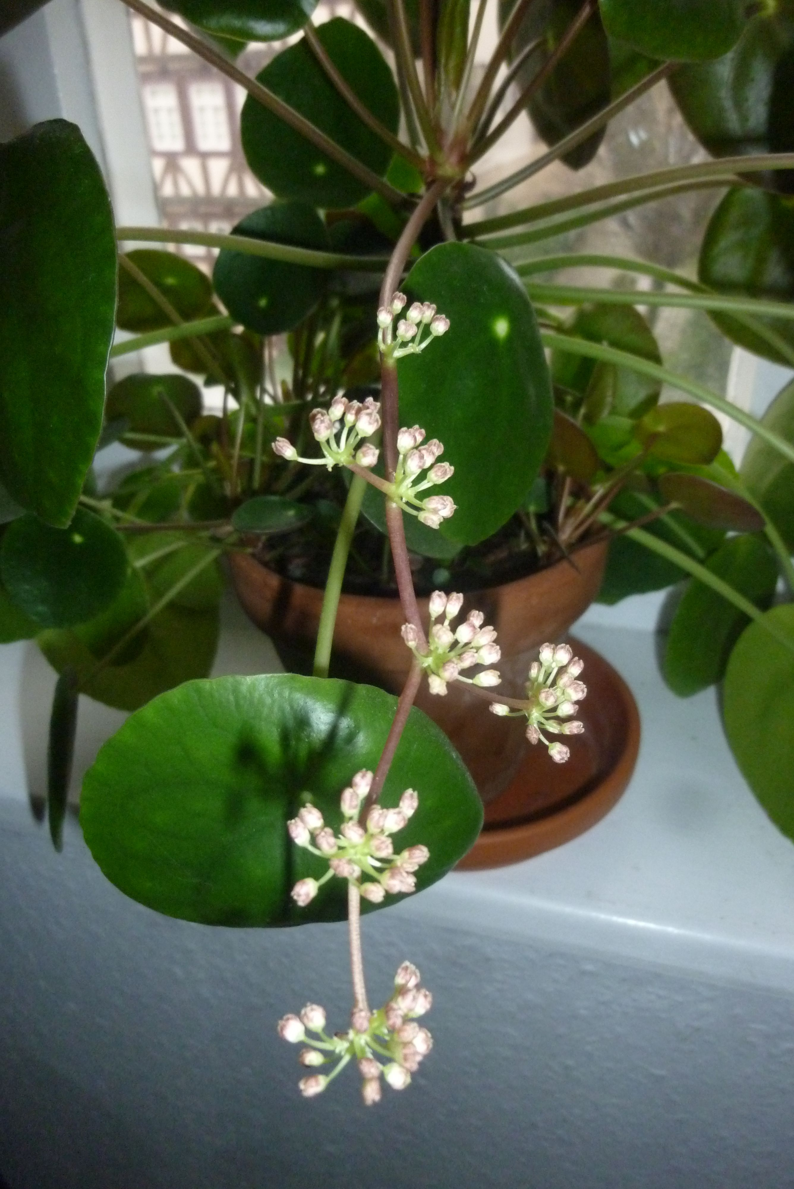 Pilea peperomioides blooming chinese money plant lefse for Plante pilea