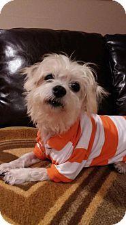 Pin By Leo Governale On Bomparola Dog Pets Shih Tzu Mix Pet