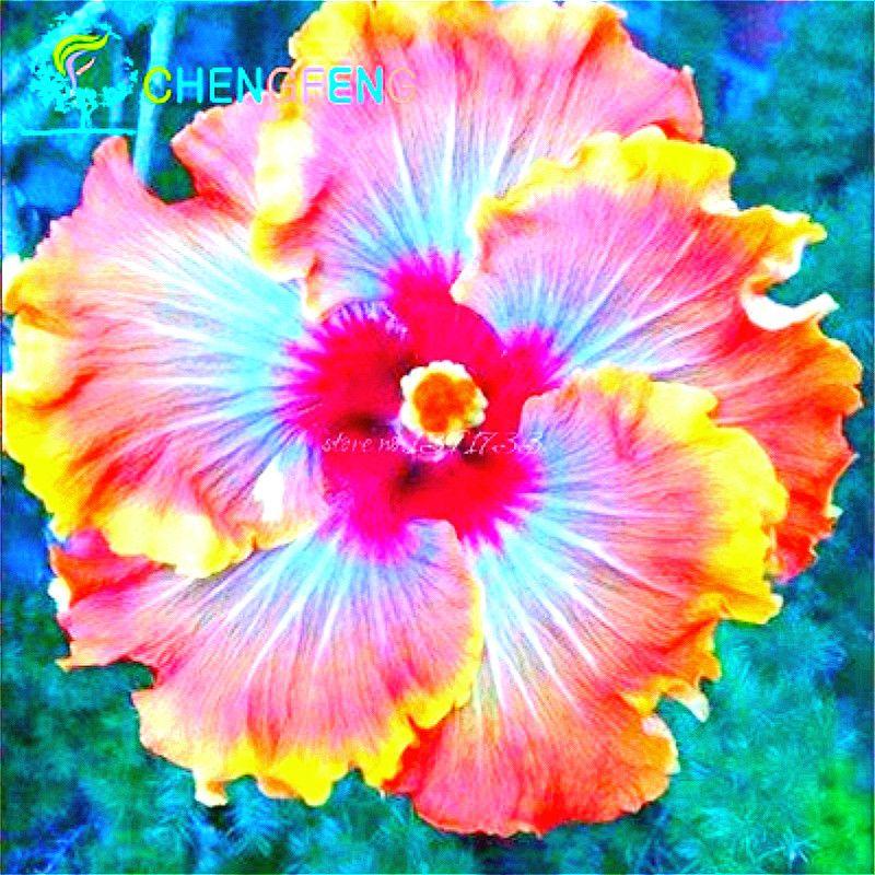 Promotion 50pcs Hibiscus Seeds 25 Kinds Hibiscus Rosa Sinensis ...
