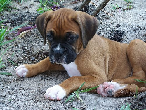 Fawn boxer puppy