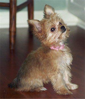Chorkie Chorkies Chihuahua Yorkie Hybrid Yorkie Chihuahua Chihuahua Love